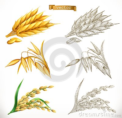 Ears of wheat, oats, rice. 3d realism and engraving styles. Vector Vector Illustration