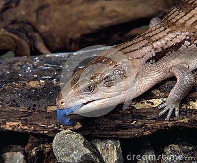 Earstern blue-tongue lizard