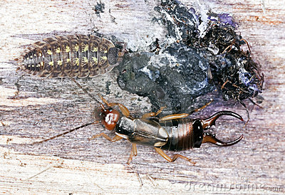 Earwig and woodlouse.
