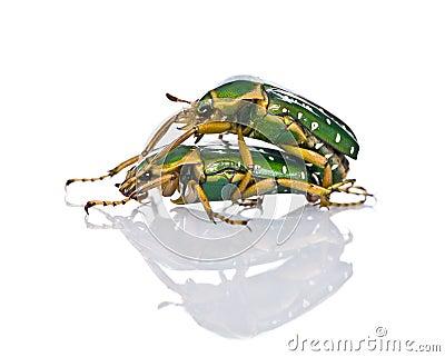East Africa flower beetles having sex
