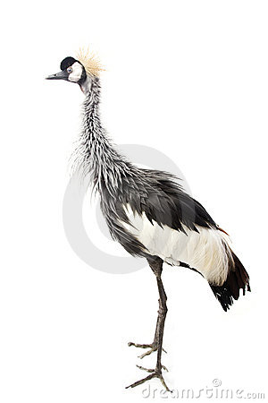 Free East African Crowned Crane Royalty Free Stock Image - 7226976