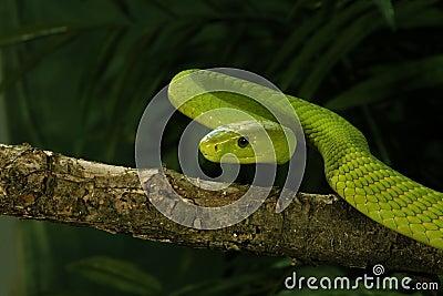 East African Green Mamba