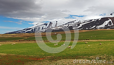 East Iceland landscape with sheep