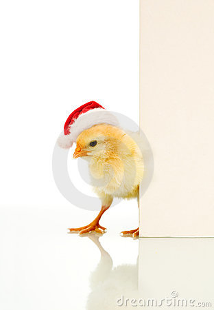 Is it Easter already - confused christmas chicken