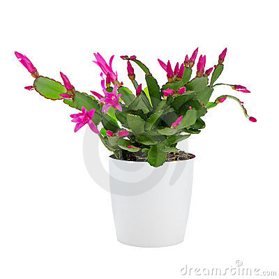 Free Easter Cactus (Rhipsalidopsis Royalty Free Stock Photography - 23926557
