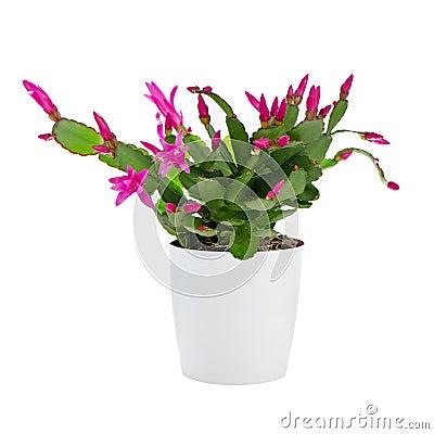 Easter Cactus (Rhipsalidopsis