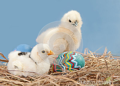 Easter chicks with colorful painted easter egg