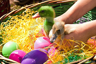 Easter Died Ducklings