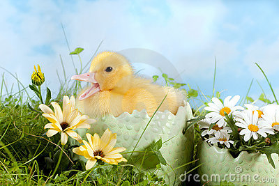 Easter Duckling calling