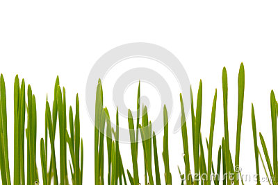 Easter grass, cat grass