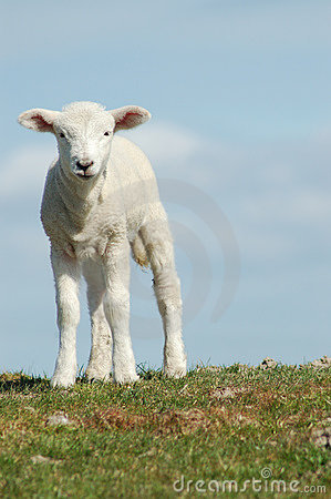 Free Easter Lamb Royalty Free Stock Images - 8374049