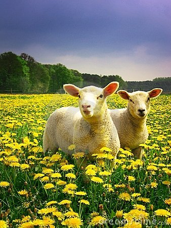 Free Easter Lambs Royalty Free Stock Photography - 4183677