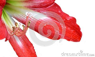 Easter lilium flower