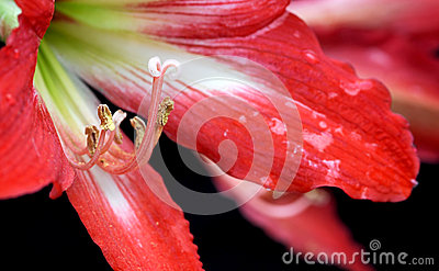 Easter Lilium red flower