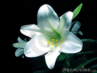 Easter lilly Stock Photo