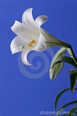 Free Easter Lily Royalty Free Stock Photos - 4445138