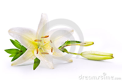Art easter lily flower isolated on white background