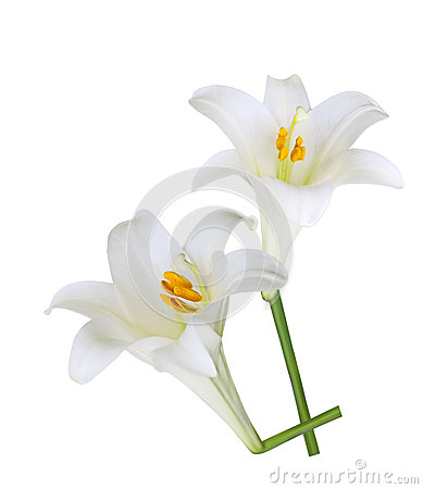Fresh Easter Lily flowers isolated on white background.