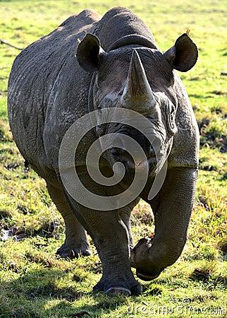 Free Eastern Black Rhino Stock Image - 22745481