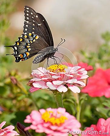 Eastern Black Swallowtail butterfly in garden