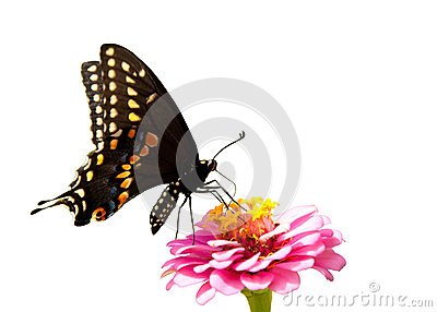 Eastern Black Swallowtail butterfly, isolated