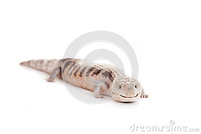 Eastern Blue-tongued Skink on white