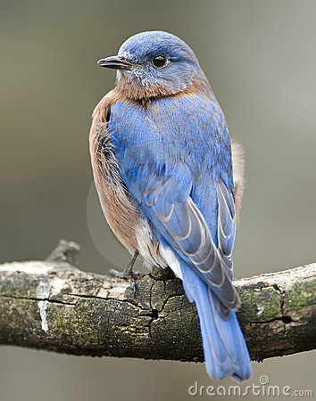 Free Eastern Bluebird Portrait Stock Images - 4535754