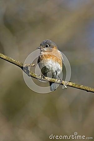 Eastern Bluebird (Siala sialis)
