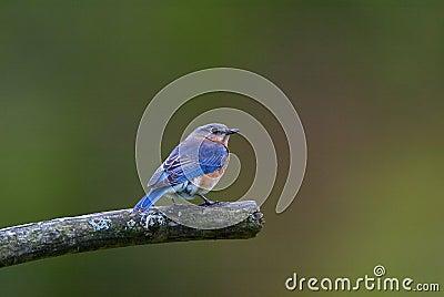 Eastern Bluebird (Sialia silias)