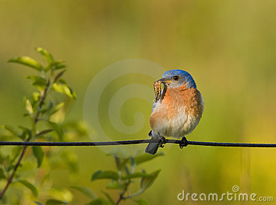 Eastern Bluebird with a worm for food