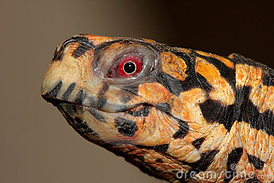 Eastern Box Turtle (Terrapene carolina)