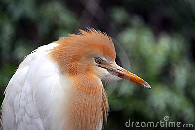 Eastern Cattle Egret in Breeding Season Plumage