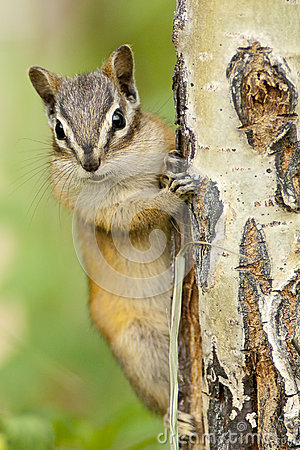 Free Eastern Chipmunk Squirrel (Tamias Striatus)  Clinging To A Tree Stock Images - 30655254
