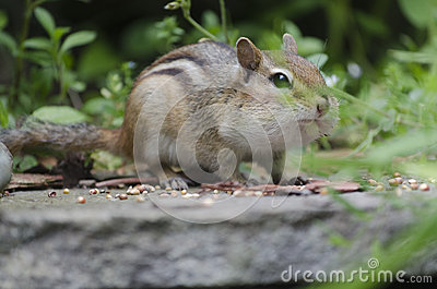 Eastern Chipmunk on a Step