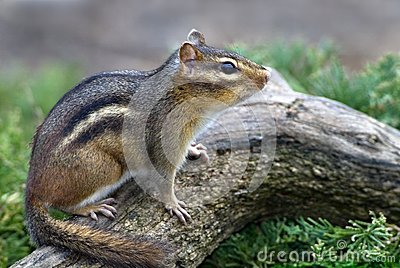 Eastern Chipmunk (Tiamias striatus)