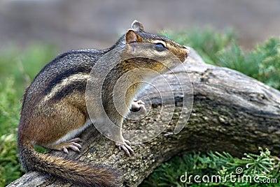 Eastern Chipmunk (Tiamias striatus)