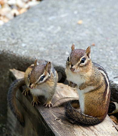 Free Eastern Chipmunks Stock Photo - 6460500