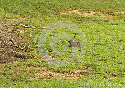 Eastern Cottontail Rabbit In A Field