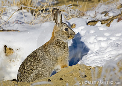 Eastern Cottontail Rabbit near snowy burrow