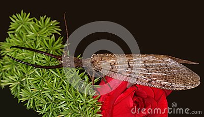 Eastern Dobsonfly Royalty Free Stock Photos - Image: 5413678