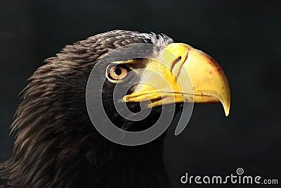 Eastern Eagle (Haliaeetus pelagicus)
