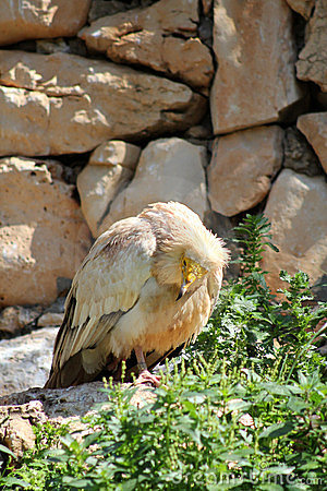Eastern Egyptian Vulture