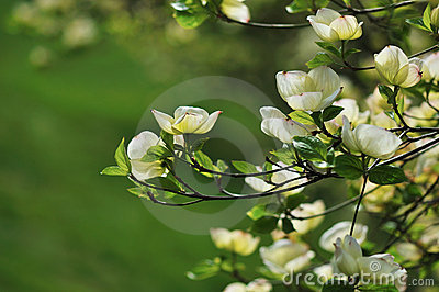 Eastern Flowering Dogwood - Cornus florida