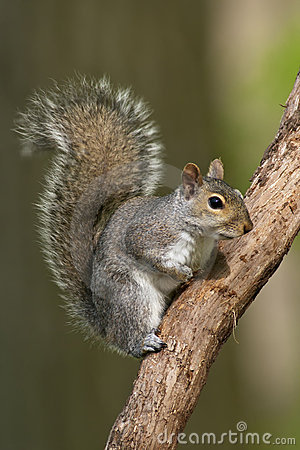 Free Eastern Gray Squirrel Royalty Free Stock Images - 19370459