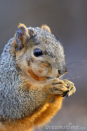 Eastern Gray Squirrel (Sciurus)