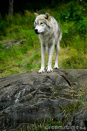Eastern Gray Timber Wolf Standing on Rock