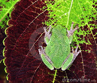 Eastern Gray Tree Frog (Hyla versicolor)