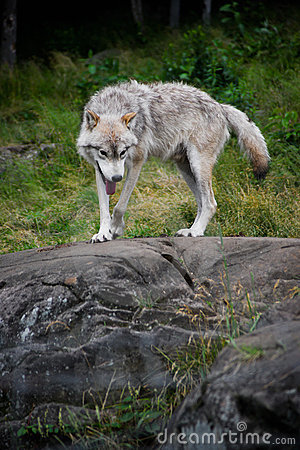 Eastern Gray Wolf Walking on Large Rock