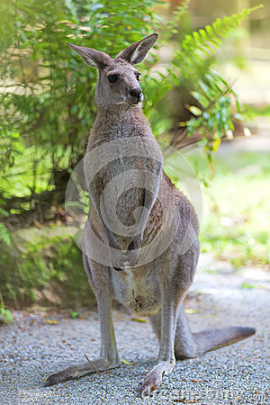 Free Eastern Grey Kangaroo Royalty Free Stock Images - 38597709