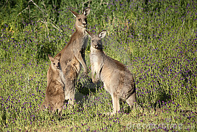 Eastern Grey Kangaroo Family